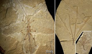 stick insect and plant fossil
