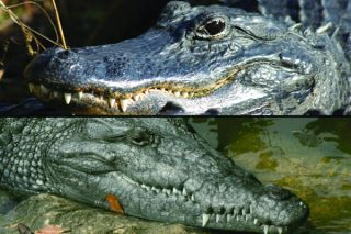 Crocodile and alligator