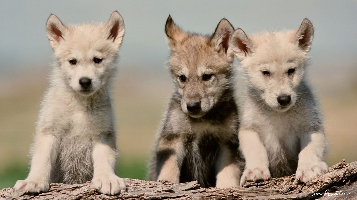 First wolf pups in US state for 80 years