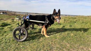 Retired police dog Vinnie