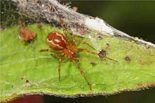 Social spider species