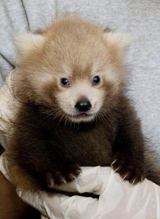 red-panda-portrait-110722