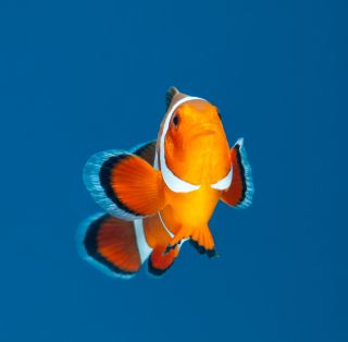 Damselfish swimming