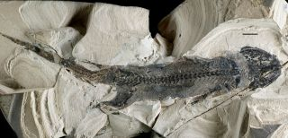 A fossil of the primitive amphibian <em>Micromelerpeton credneri</em> from Lake Odernheim in southwest Germany