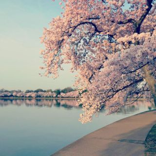 Washington, D.C., cherry trees in peak bloom