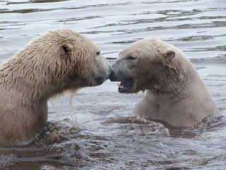 polar bear images, scottish polar bears, polar bear friends, cute polar bear photos, animal friends, animal news