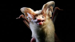 Big-eared bats could help drones fly more efficiently