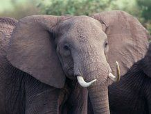 Elephant's ancestors could return