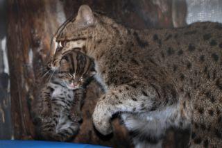Fishing Cat mom and kitten