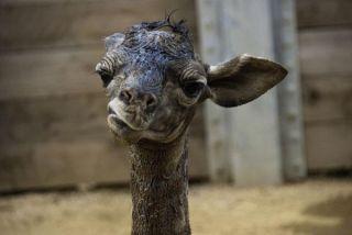 newborn-giraffe-baby-110308-02