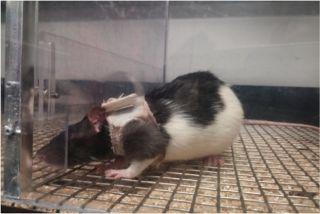 Rat lingerie