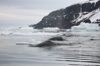 Two bowhead whales, bowhead whales mingle in the Northwest Passage when sea ice is low