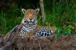 jaguar-threatened-pantanal-100810-02