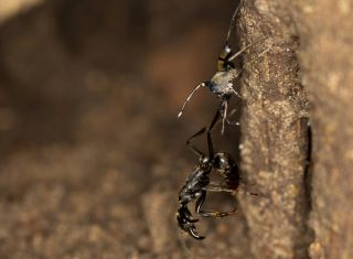 A jumping spider attacks an injured ant as it attempts to return from the hunting ground to the nest. When nest mates carry their injured comrades home, they are much less likely to die.