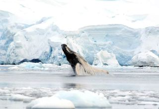 whales, humpback whales, tagging, antarctica, climate change, global warming, sea ice, krill, Duke University