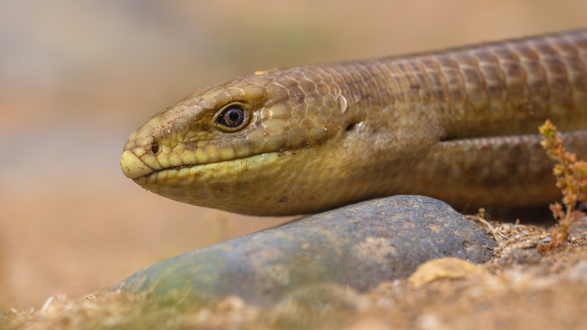 The legless European glass lizard (Pseudopus apodus) was likely a part of the ancient human diet.