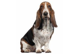bassett hound, long stare
