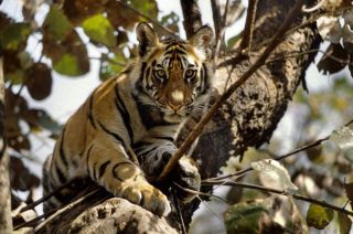 tigers, tiger conservation, india, wwf, endangered species, extinction, tiger range countries, asian wildlife, wild tigers