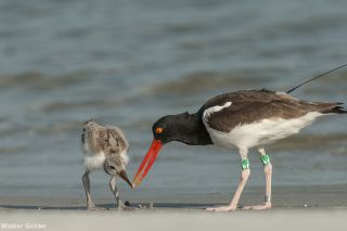 Oreo feeds her (or his) chick tiny clams called coquinas