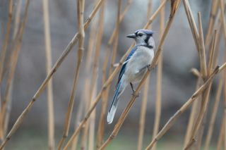 Blue Jay, climate change, spring