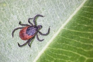 The taiga tick, shown above, was found to harbor a newly-discovered virus in China.