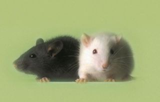 Mice are popular research models because they have practically all the same life processes as humans and, because of their small size and short generation times, are easily raised in labs.