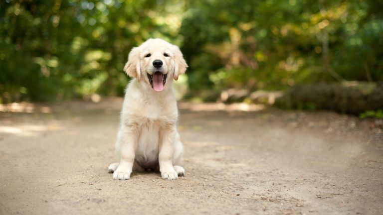 best family dog breeds: labrador puppy