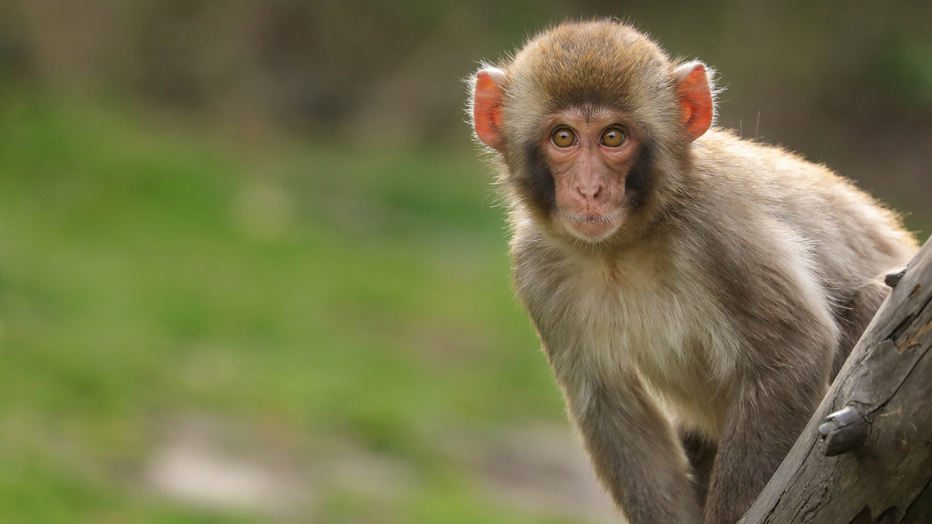 A monkey in India stole COVID-19 blood samples from a lab worker ...
