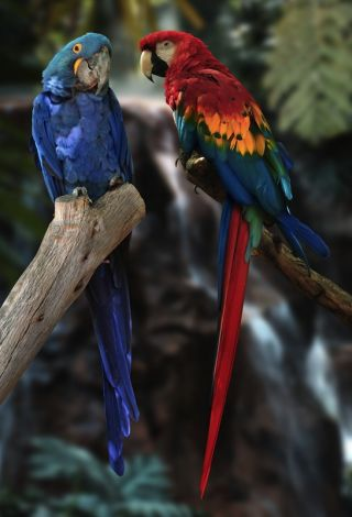 Scarlet and hyacinth macaws.