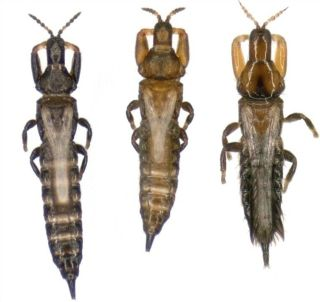 Three types of thrips: the disperser, with larger wings; the soldier with bigger jaws; and a different species of invader thrips.