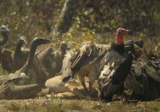 vultures-cambodia-flock-100903-02