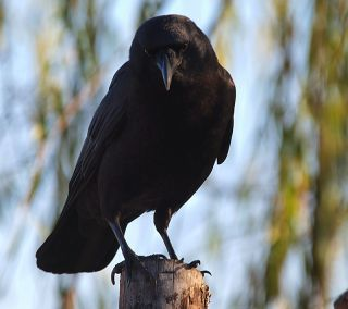 Raven percing on a post facing the camera.