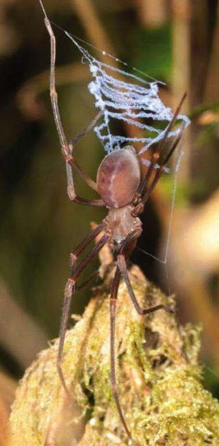 Progradungula Otwayensis Spider and Ladder-Shaped Web