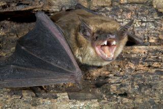 A bat bares its teeth.