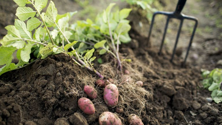 potato companion plants - digging up the veg