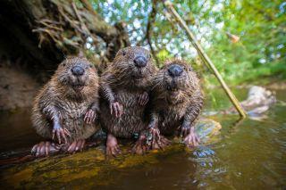 Beavers Spy in the Wild