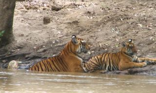 A tigress and her cub in India's Sathyamangalam Wildlife Sanctuary.