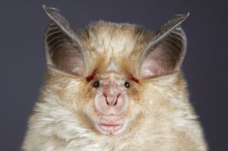 a closeup on the face of a horseshoe bat