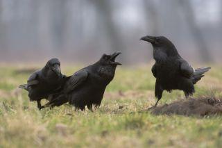 ravens, social ability, humans