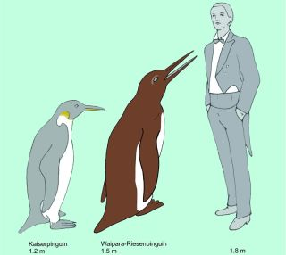 The Waipara giant penguin compared to an emperor penguin (the largest living penguin species) and a human.