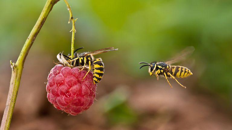 Wasps flying towards raspberries
