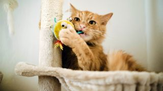 Why do cats need a scratching post? Ginger cat scratching post and chewing on toy