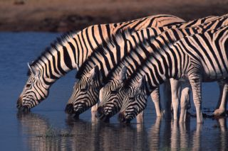 Zebras at watering hole, migration