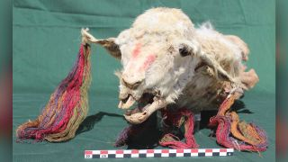 The sacrificed llamas were adorned with colored string earrings and necklaces.