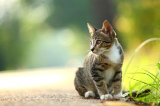 A tabby cat sitting outside.