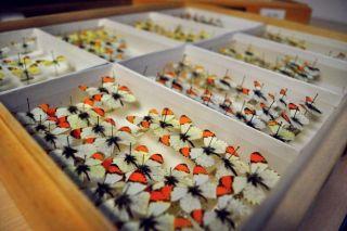 Butterfly specimens, habitat