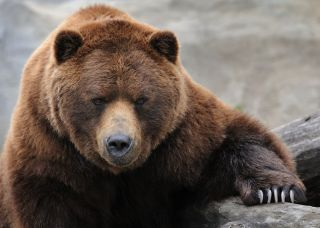 Grizzly Bear with claws