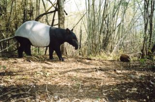 Malayan Tapir in rainforest