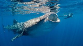 An underwater photo of a whale shark swims next to a person in Isla Mujeres, Mexico.