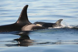 The new baby orca swims alongside its presumed mother.